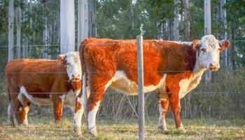 La ganadería uruguaya se sigue transformando mientras Argentina y Brasil se complican
