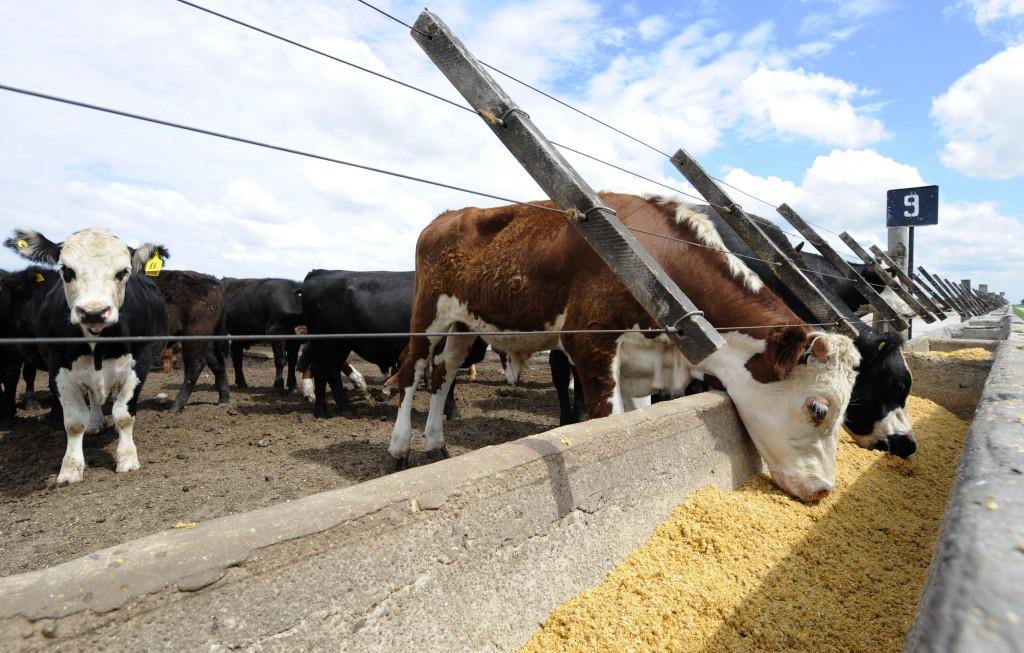 En Uruguay estudian protocolo para incluir ganado terminado a grano en la Cuota Hilton
