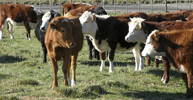 Ganadería bovina: Con la mirada puesta en 2016