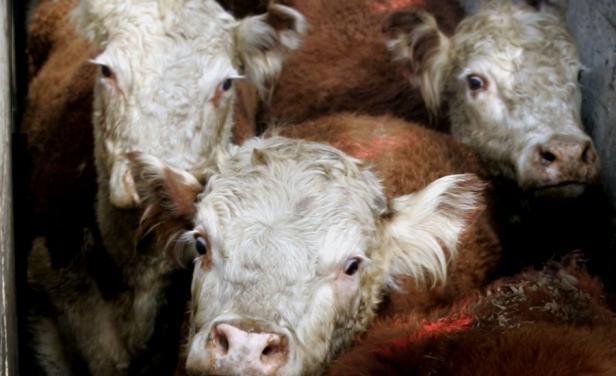 La oferta de ganado gordo continúa cayendo en Uruguay
