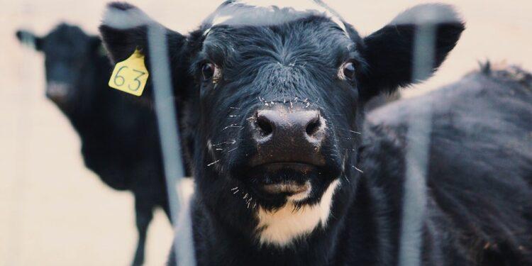 Alerta por un nuevo caso atípico del Mal de las Vacas Locas en Brasil: El mercado global de carne está en vilo