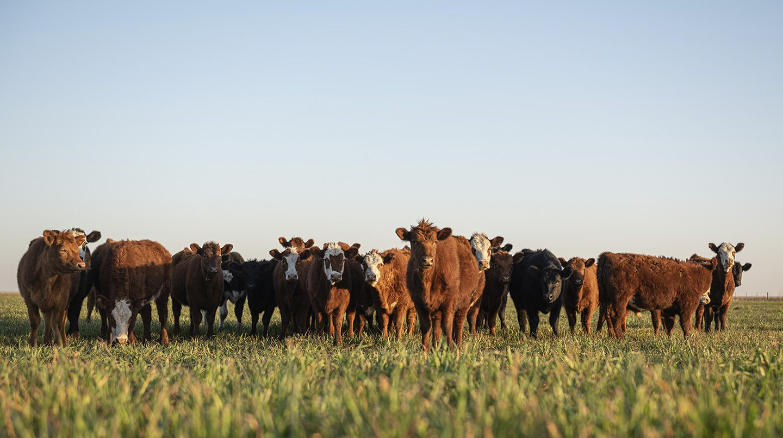 Cómo fue el 2020 para la ganadería y los desafíos que enfrentará este año