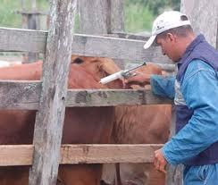 Aftosa: Foro Mercosur de la Carne contrario a que se deje de vacunar