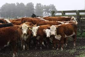 Senasa informó que los establecimientos sin adhesión al plan de brucelosis bovina no podrán exportar China