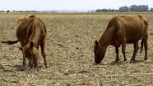 Carne: según los expertos, la cuota oficial para exportar vaca conserva a China hará que muchas mueran en el campo