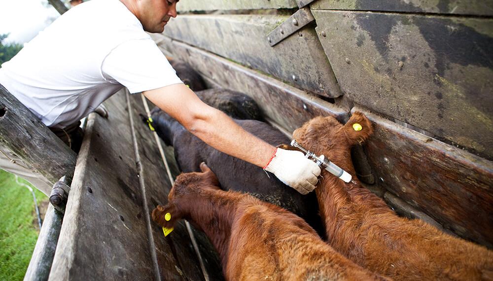 Senasa ratificó su plan de vacunación contra la fiebre aftosa tras la decisión de Brasil