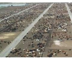 Carnes: los feedlots pelean el negocio de los cortes caros