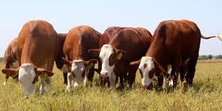 Los costos de volver a la ganadería