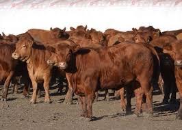 """Cepo a la carne: el Gobierno aún no liberó la exportación de la """"vaca china"""""""