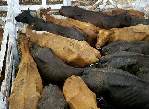 Encajonados: Sin poder exportar, los ganaderos retuvieron la venta de sus vacas, aunque por hacerlo dejaron de recibir unos 8.000 millones de pesos