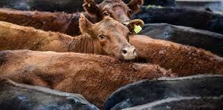 La vaca conserva no liberada y el cupo para todes